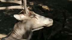 Père David's Deer in the Forest Stock Footage