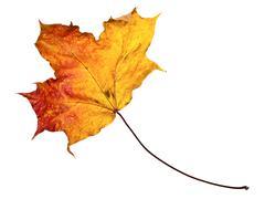 Maple Leaf Stock Photos