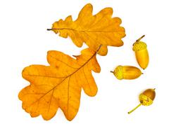 Oak Leaves and Acorns Stock Photos