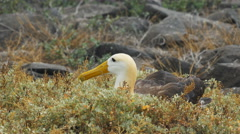 Close up of a nesting waved albatross on isla espanola in the galapagos Stock Footage
