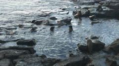 Sea lion harem at isla south plazas in the galapagos Stock Footage