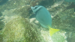 Close up of a yellow-tailed surgeonfish at isla genovesa Stock Footage