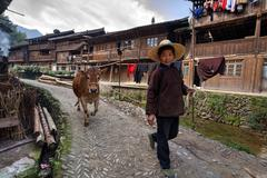Chinese woman leads along village street brown cow, holding rope. - stock photo