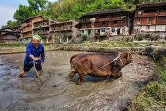 Chinese farmer plows land of rice fields, using force cow. Stock Photos