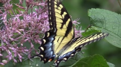 Beautiful yellow tiger swallowtail butterfly on pink flowers in sunlight Stock Footage