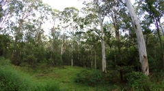 Still Shot of Calm Eucalyptus Forest in Blue Mountains Australia Stock Footage