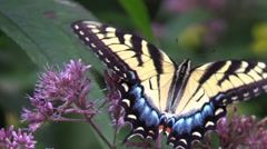 Yellow tiger swallowtail butterfly on pink flowers in sunlight Stock Footage