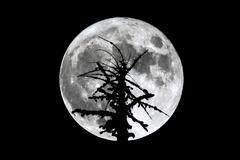 Full Moon dead tree silhouette Stock Photos