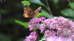 Orange butterfly on pink flowers in sunlight Stock Footage