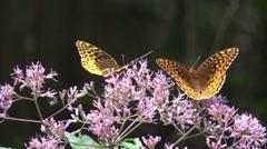 Two Beautiful orange butterflies on pink flowers summer sunlight Stock Footage