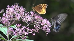 Orang butterfly with black butterfly on pink flowers Stock Footage
