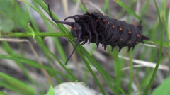 Pipe-vine swallowtail larva black spiked caterpillar Stock Footage