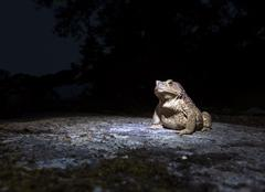 Common toad - bufo bufo - on moss covered stone in the night closeup Stock Photos