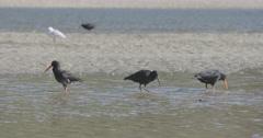 Oystercatcher birds in whangamata estuary, Coromandel, New Zealand Stock Footage