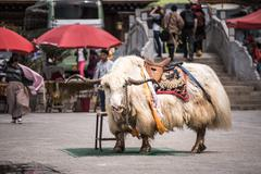 SHANGRI-LA, CHINA - April 20, 2016: Yak for tourists to take a picture with. Stock Photos