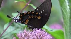 Black Pipeline swallowtail butterfly on pink flowers in sunlight Stock Footage