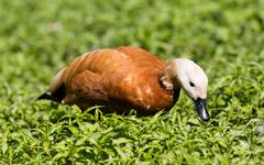 Ruddy shelduck in the grass Stock Photos