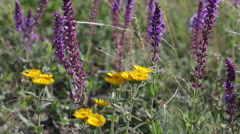 Blossoming sage and yellow flowers on a summer meadow Stock Footage