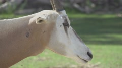Scimitar Oryx in The Wild Stock Footage