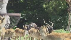 Herbivorous Animals Running in Zoo Stock Footage