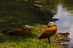 A pair of ducks ruddy shelduck Stock Photos