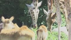 Herbivorous Animals in Zoo Stock Footage