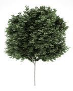 Field maple tree isolated on white background. 3d illustration Stock Illustration