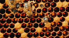 Birth of a new bee, other bees help her get out of the cell Stock Footage