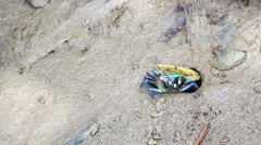 Fiddler Crab in a flood plain in the mangrove plant,Phuket island Thailand. Stock Footage