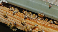 Honeybees at the entrance to the hive close up Stock Footage