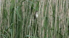 Reed Warbler perching in the reeds and flys off Stock Footage
