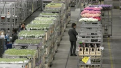 Staff checks flowers at Aalsmeer FloraHolland Flower Auction Market Stock Footage