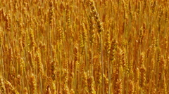 Sliding Forward Over Field of Ripe Golden Wheat Stock Footage