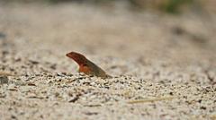 Lava lizard on the beach isla espanola in the galapagos Stock Footage