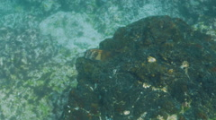 Panamic fanged blenny at isla bartolome in the galapagos Stock Footage