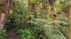 Path running through montane rainforest, the trees illuminated by the morning su Stock Footage