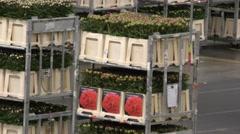 Fresh flowers move slowly at Aalsmeer FloraHolland Flower Auction Market - stock footage