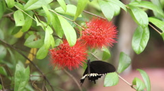 Black Butterfly Drinking On The Flowers Stock Footage