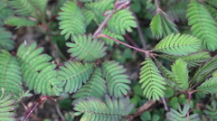 Hand Touch And Tickle Mimosa Pudica, Sensitive Plant, Sleepy Plant Stock Footage