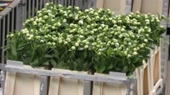 Fresh flowers move slowly at Aalsmeer FloraHolland Flower Auction Market Stock Footage