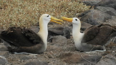 Two waved albatross bonding on isla espanola in the galapagos Stock Footage