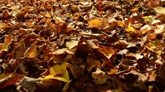 Carpet of dead leaves in a forest in autumn Stock Footage