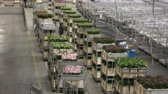 Carts of flowers move slowly at Aalsmeer FloraHolland Flower Auction Market Stock Footage