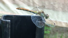 Dragonfly withstand strong winds Stock Footage