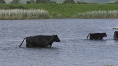 Cattle wading across a pool Stock Footage