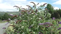 Buddleia Bush in the strong breeze Stock Footage