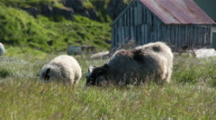 Icelandic sheep grazing on a sunny day Flatey Iceland farm Stock Footage