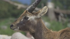 Waterbuck in the Wild Stock Footage