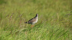 Redshank bird green grass cinematic bokeh sunny day Flatey Iceland Stock Footage