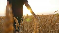 Man walking through wheat field, touching wheat spikes - stock footage